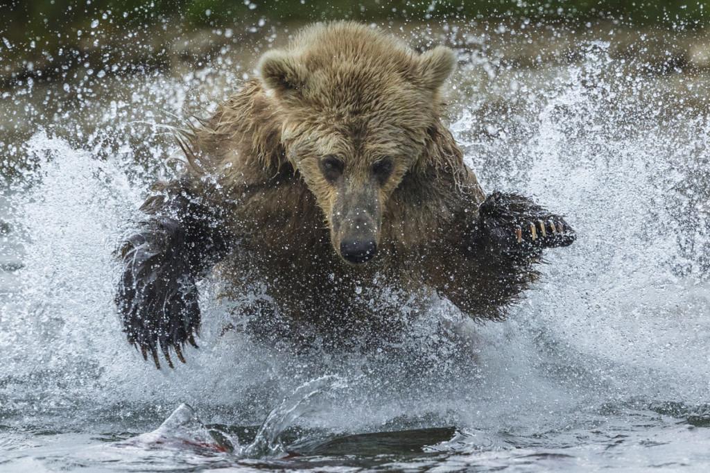 Brown bear, Katmai National Park, Alaska, USA. Photo: © Art Wolfe/ Art Wolfe Stock